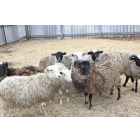 Овцы, бараны и ягнята