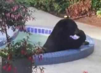 Медведь, изнемогая от жары, пришел на частный участок, чтобы искупаться